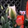 """Tulips & Daffs - """"Dad's Corner"""""""
