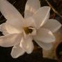 magnolia stelleta