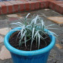 Astelia in blue pot.... (Astelia Silver Shadow.)