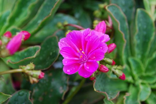 Lewisia (deep pink) (Lewisia cotyledon Deep pink.)