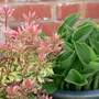 Pieris Little Heath and Hosta