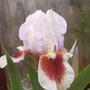 Little Iris (Iris)