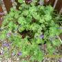 Blue_geranium