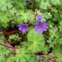 Blue_geranium2