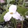 Trilliums are open!! (trillium grandiflora)