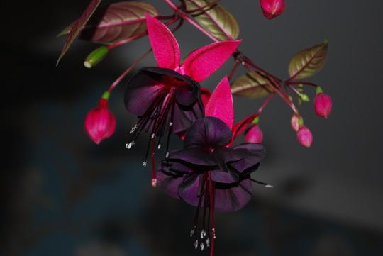 Fuchsia..... (Fuchsia)