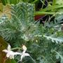Papaver_trinifolium_2.5.10