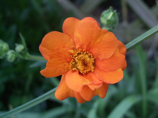 Geum 'Princess Juliana' (Geum 'Princess Juliana')