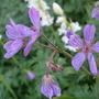 Geranium erianthum (Geranium erianthum)