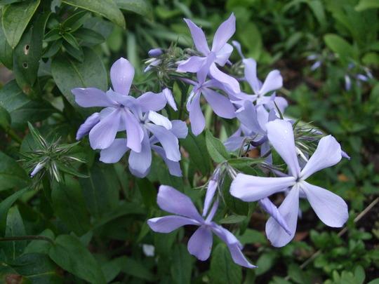 Phlox divaricata 'Clouds of Perfume' (Phlox divaricata (Blue Phlox))