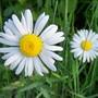 100_4238_daisies_ed