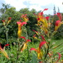 Indian shot (Canna indica (Indian shot plant))