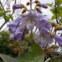 A garden flower photo (Paulownia tomentosa (Foxglove tree))