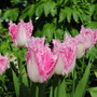 Tulips - Huis Ten Bosch (Tulipa)