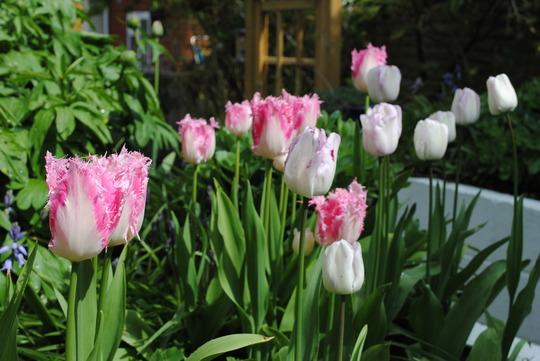 Tulips Huis ten Bosch & Shirley (Tulipa)