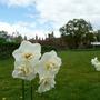 Daffodills at Knebworth House