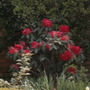 Rhodedendrons (Rhododendron)