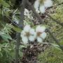 Weeping pear tree (Pyrus salicifolia 'Pendula')