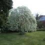 Weeping pear tree (Pyrus salicifolia (Pear))