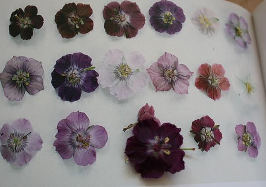 Identification of Geranium phaeum - lily lovell (Geranium phaeum (Lily Lovell))