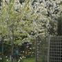 Cherry tree (Prunus cerasus (Cherry))