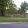 Deer in the Phoenix Park 