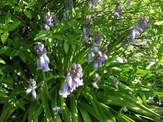Hyacinthoides non-scripta  At last my Bluebells are starting to flower (Hyacinthoides non-scripta - Bluebells)