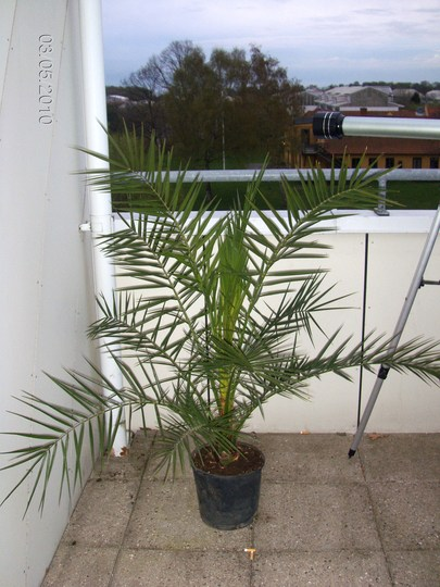 PALM (Phoenix canariensis (Canary Island date palm))