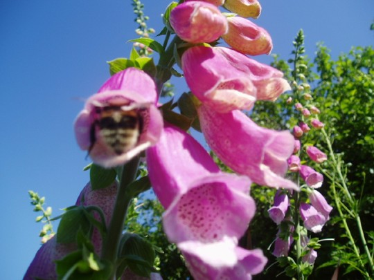 busy bee ! (Digitalis purpurea (Common foxglove))