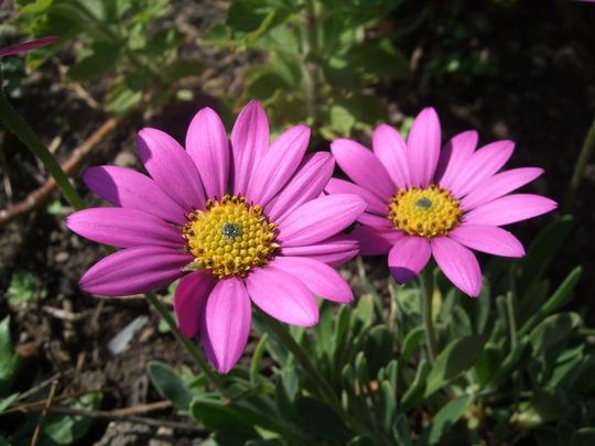 Osteospermum jucundum 'Compactum' (Osteospermum)
