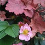 A little scene... (Fragaria 'Pink Panda')