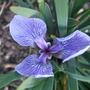 Iris setosa 'Dwarf' (Iris setosa)