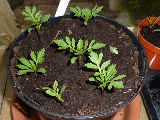 French Marigold Seedlings Grows On You