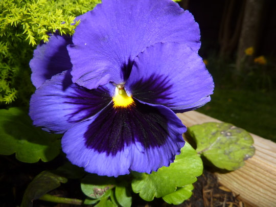 Spring Pansy in vivid blue.....