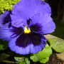 Spring Pansy in vivid blue.....