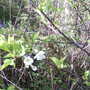 Wild Cherry and Bluebells