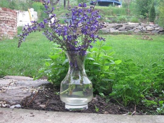Meadow Clary...Meadow Sage (Salvia pratensis)