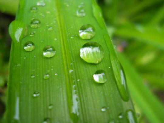 Rain drop on Hemerocallis leaves