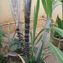 sugarcane growing in my garden