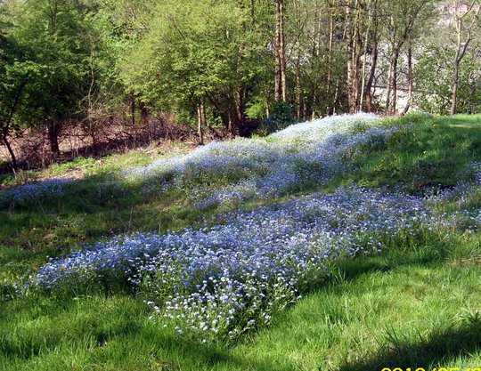 Blue bells Galore