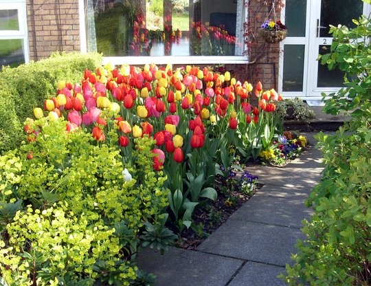 My Neighbours Tulips