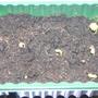 Hibiscus_seedlings_4_5_2010