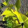 Can u see the Ladybird On My Dog Wood Leaf?