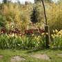 Dell Tulips