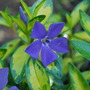 Vinca Minor Illumination...... (Vinca minor Illumination)