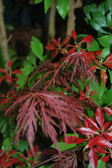 Acer  Garnet with pieris.... (Acer Garnet)
