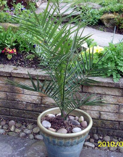 Canary Island Palm (Phoenix canariensis (Canary Island date palm))