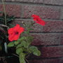 Red_petunia