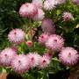 Bellis (Bellis perennis)