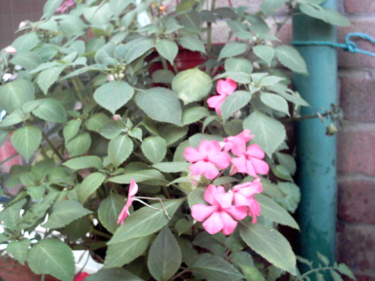 impatiens - busy lizzie (impatiens)